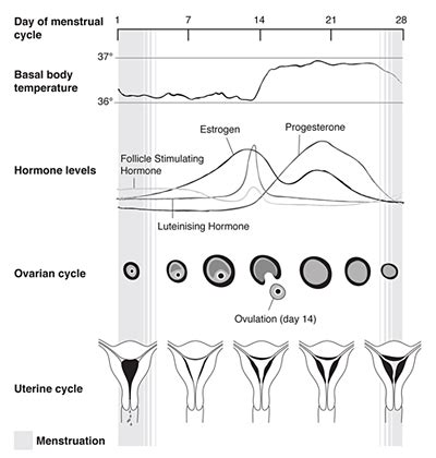 shedding of the endometrial lining occurs 28 images