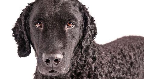 grooming  curly coated retriever dog grooming tutorial
