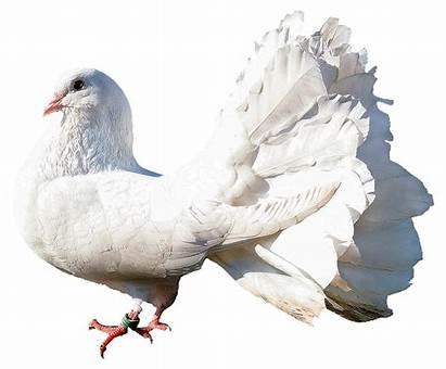 Dove Transparent Pigeon Bird Purepng Editing Picsart
