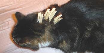clipping cats nails nail clipping cat chat the place for