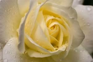 Gelb Rote Rosen Bedeutung : bilder von rosen die sch nheit behalten ~ Whattoseeinmadrid.com Haus und Dekorationen