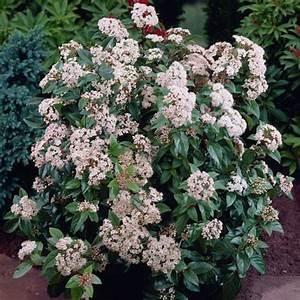 Arbuste À Feuillage Persistant : viburnum tinus eve price laurier tin est un arbuste ~ Melissatoandfro.com Idées de Décoration