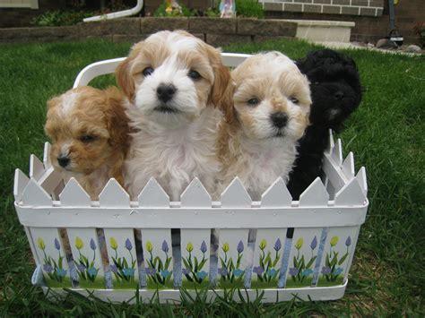 cavachon yorkie mix cavachon puppies  sale cavachon dog breed greenfield puppies