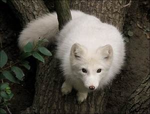 Fat?No, fluffy baby arctic fox by woxys on DeviantArt