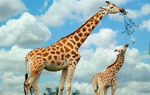 Giraffe Eating Pictures, Photos, and Images for Facebook ...
