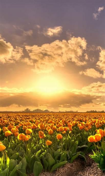 Sunset Yellow Tulip Flowers Field 4k Gold
