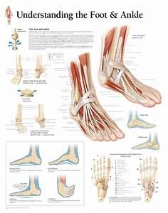 Scientific Publishing Understanding The Foot  U0026 Ankle Chart