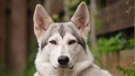 northern inuit dog information characteristics facts