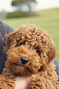 17 Best Ideas About Cocker Spaniel Poodle Mix On Pinterest