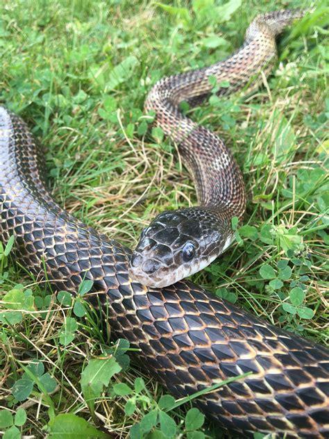 world snake day celebrating memaw  snakes