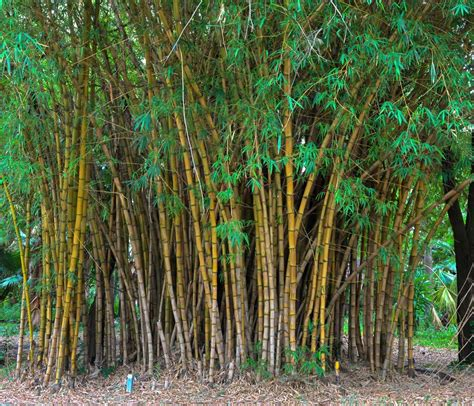 bamboo varieties bamboo plant care the tree center