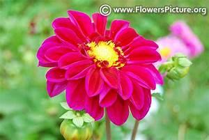 Deep Pink, magenta, Hot pink, Fuchsia color flowers