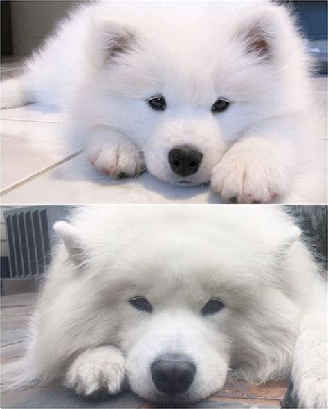 25 Best Ideas About Siberian Samoyed On Pinterest