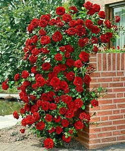 Rosier Grimpant Remontant : rosier grimpant remontant photo de fleur une pensee ~ Melissatoandfro.com Idées de Décoration