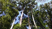 Philippine forest trees threatened by deforestation and ...