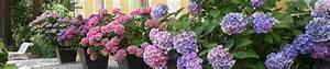 Hortensien Wann Pflanzen : hortensien d ngen hortensien hortensie pflanzen ~ Lizthompson.info Haus und Dekorationen