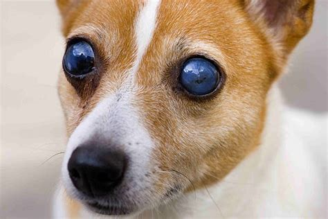 blindness in dogs blindness in dogs symptoms causes diagnosis treatment
