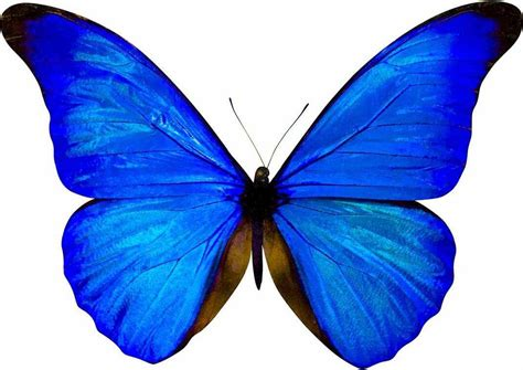 Mariposas Para Invitacion Azul Related Keywords