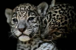 Mexico jaguar population grows 20% in eight years  Jaguar