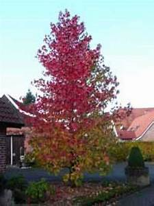 Amberbaum Oktoberglut Preis : liquidambar styraciflua amerikanischer amberbaum ~ Michelbontemps.com Haus und Dekorationen