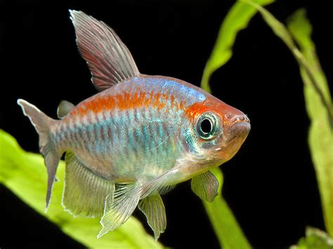reproduction poisson en aquarium reproduction poisson aquarium 28 images les 25 meilleures id 233 es de la cat 233 gorie