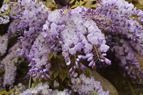 vines flowering 13 flowering vines for year round color hgtv
