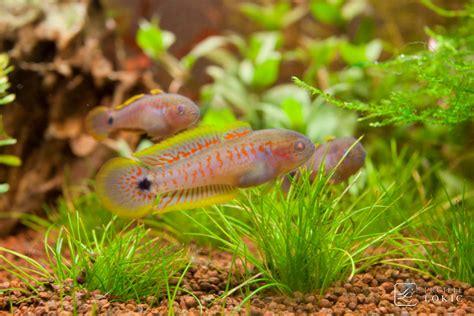 poisson aquarium eau douce tateur tateurndina ocellicauda est un poisson d eau douce magnifique originaire de papouasie
