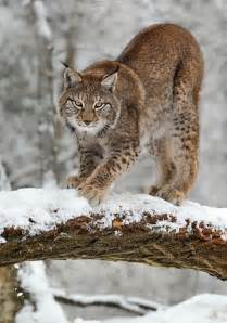 Beautiful Lynx Animal