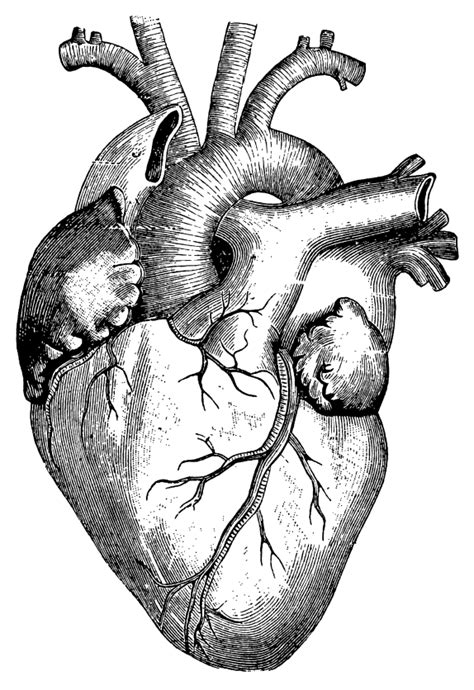Cardiac development needs more than protein-coding genes