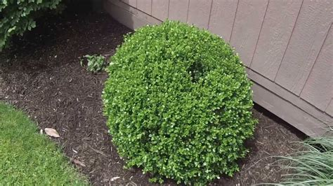 how to trim bushes in the how to trim round shrubs and bushes newhairstylesformen2014 com