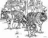 Tiger Outline Coloring Popular sketch template