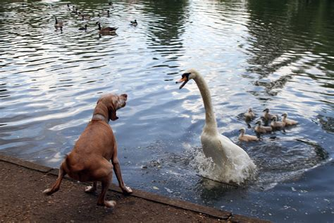 dog takes  swans  loses  pond attack london