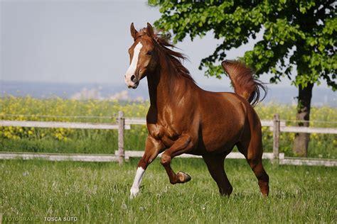 Arabian Horse Photo Gallery Wallpaper