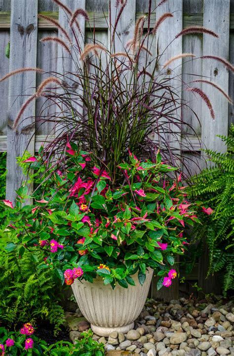 purple grass container ideas purple fountain grass pennisetum setaceum rubrum zones 8 11 landmark sunrise rose lantana
