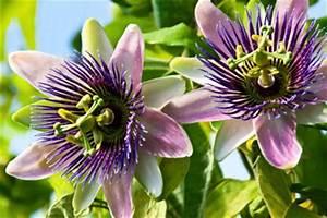 Kletterpflanzen Für Balkon : passionsblumen auf dem balkon exotische kletterpflanzenbalkon oase ~ Buech-reservation.com Haus und Dekorationen