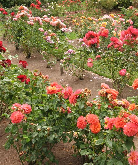what to plant with roses spacing roses how far apart to plant rose bushes