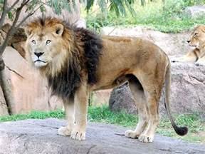 ライオン:動物図鑑・ライオン