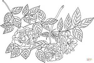 'tuscany Superb' Gallica Rose Coloring Page