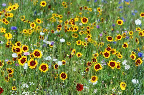 maedchenauge pflanzen pflegen vermehren und mehr