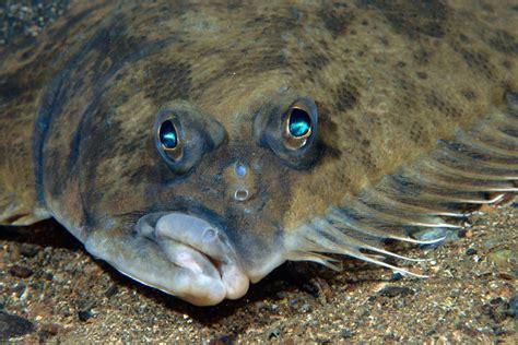 como os peixes como  linguado veem  fundo  mar