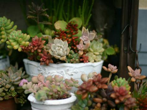best succulents for indoors care tips for growing succulents indoors during the winter world of succulents