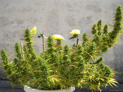 chambre de pousse chocoloco by vision seeds seedfinder info de variété