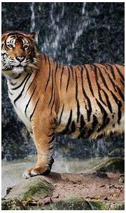 tiger, Nature, Big cats, Animals Wallpapers HD / Desktop ...