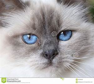 Close Up Of A Beautiful Fluffy White Baby Blue Eyed Birman ...