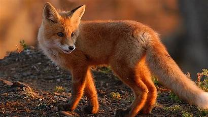 Fox Animal Wallpapers Pixelstalk