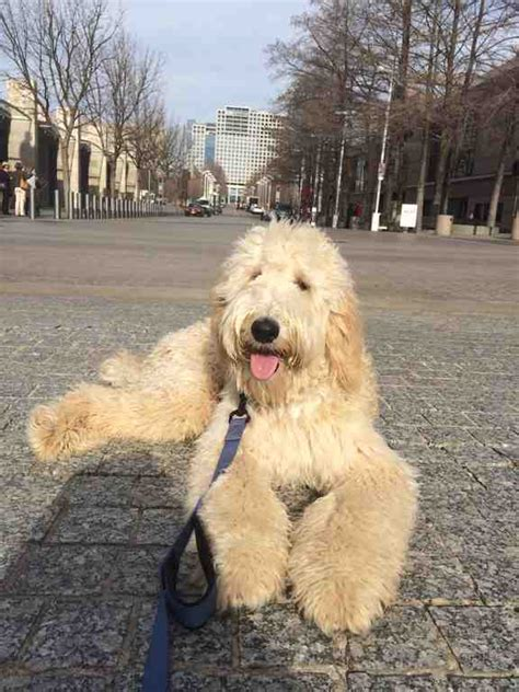 Low Shed Dog Breeds by Lonestar Doodles 817 714 5977 Goldendoodle Dallas Texas