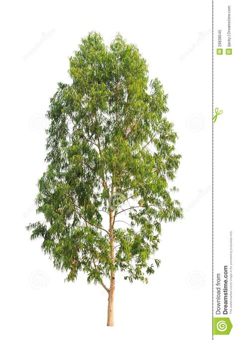 eucalyptus tree royalty  stock photo image