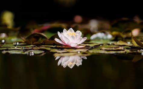 Download wallpaper 3840x2400 lotus, flower, plant ...