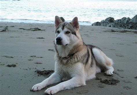 northern inuit dog info temperament puppies pictures