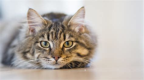 Hoy es Día Internacional del gato, pero ¿por qué se celebra?